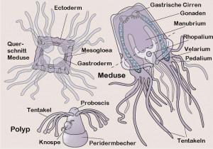 Würfelqualle Seewespe Cubozoa Lebenszyklus