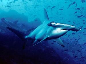 Scalloped Hammerhead - Bogenstirn-Hammerhai