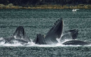Humpback Whales - Buckelwale