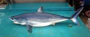 Kurzflossen-Mako Hai