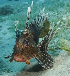 Rotfeuerfisch Lionfish