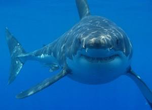 Großer Weißer Hai vor der Küste Südafrikas