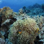 Anemone mit Clownfischen