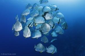 Fledermausfische