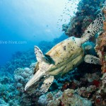 Schildkröte beim Frühstücken