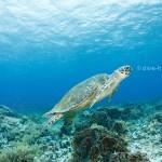 Schildröte im Riff