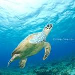 Schildkröte hebt ab
