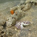 Blaugeringelte Krake (Oktopus)