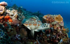 Suppenschildkroete im Korallenriff
