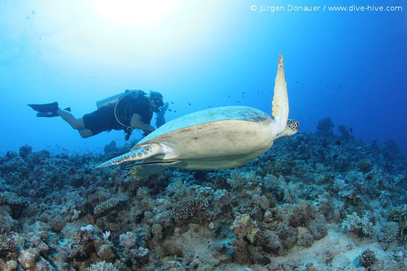 Suppenschildkröte (Chelonia mydas)