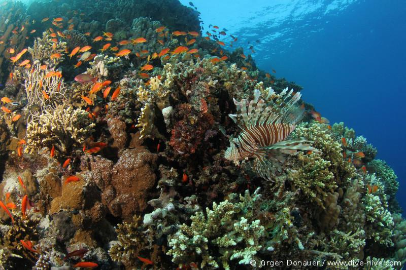 Suchbild: Rotfeuerfisch mit Drachenkopf