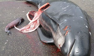Slaughtered Pilot whale and calf