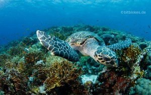 Hawksbill Turtle and reef