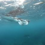 Manta Ray close to the surface