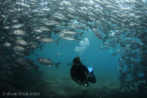 Huge school of Jacks in Tulamben