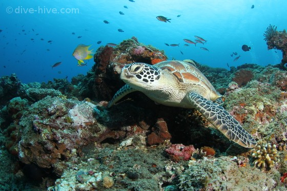 Gree Turtle in coral reef