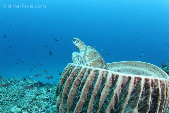Green Turtle in a barrel sponge
