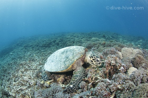 Hawksbill Turtle eating in coral reef