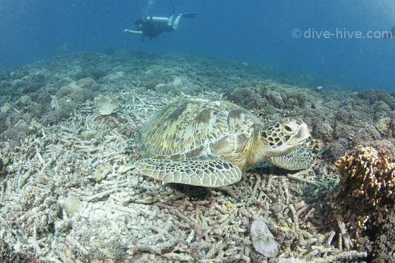 Green Turtle and diver in the background taking a picture of another one