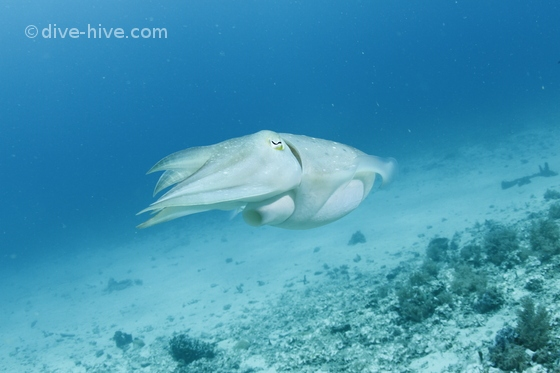 Cuttle fish showing his jet engine