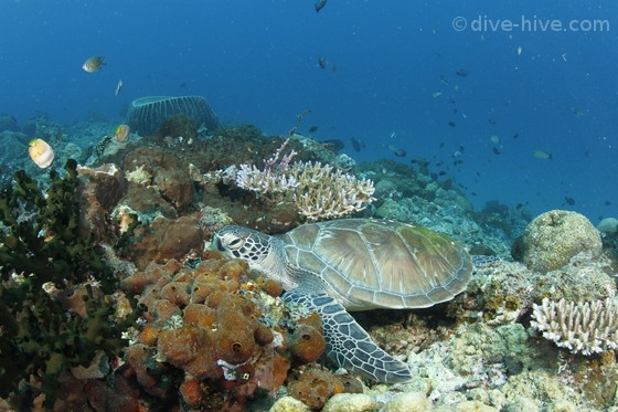 Gree Turtle in coral reef