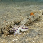 Blue Ringed Octopus in Gili Indonesia
