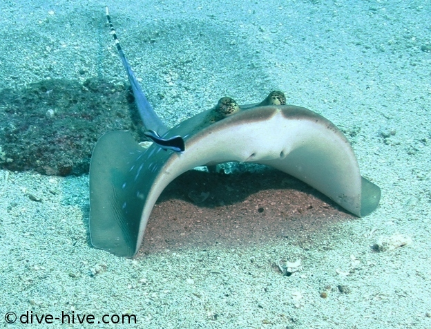Blue spotted stingray at a cleaning station