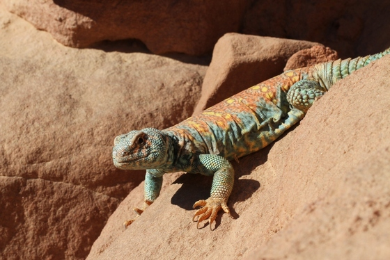 Uromastyx Ornata - male