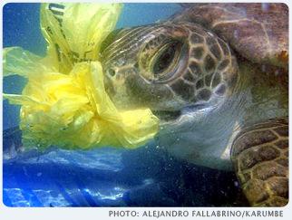 Junge Grüne Meeresschildkröte frisst Plastiktüte