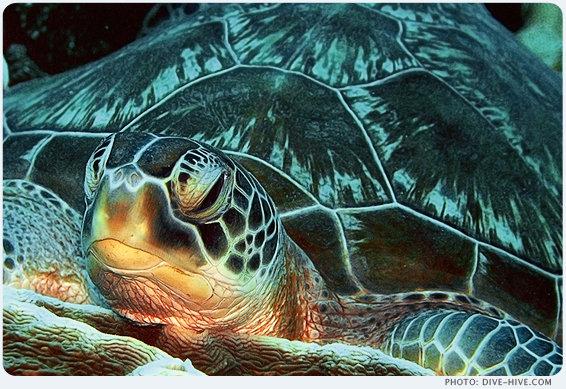 Grüne Meeresschildkröte, Mnemba Atoll, Sansibar, Tansania