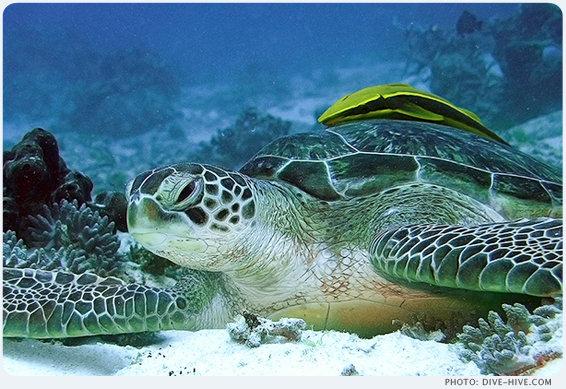 Grüne Meeresschildkröte mit Schiffshalterfisch