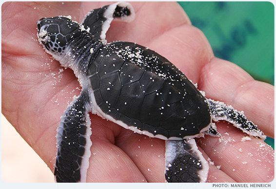 Frisch geschlüpfte Grüne Meeresschildkröte