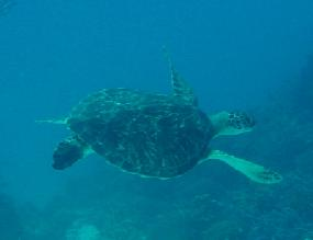 Green Turtle in Mnemba