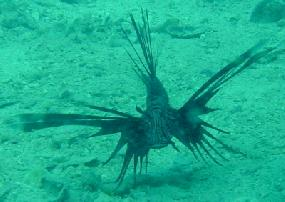 My first shot of a Lionfish ever