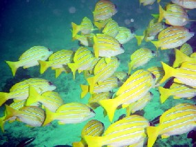 striped Snappers, quite usual for Hunga