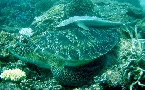 Green Turtle with Remora on top