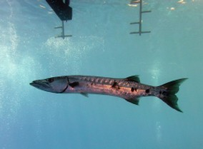 Giant Barracuda